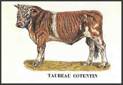 Image 1 taureau cotentin