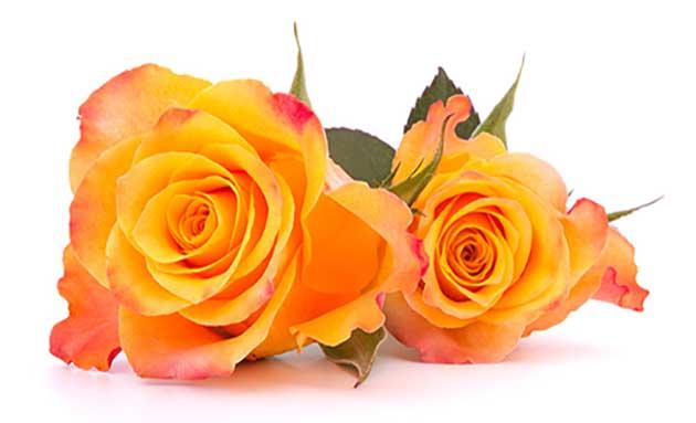 Rose-orange-01
